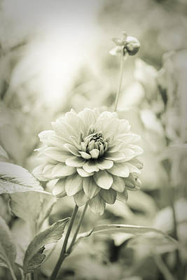 Photograph - Dahlia - Dreamers Garden Series by Marco Oliveira