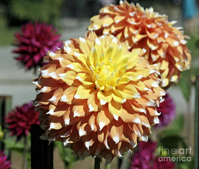 Photograph - Dahlia Explosion by Chris Anderson