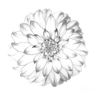 Dahlia Flower As Drawing In Black And White. Art Print by Rosemary Calvert