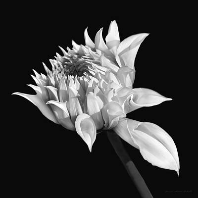 Photograph - Dahlia Flower Blooming Black And White by Jennie Marie Schell