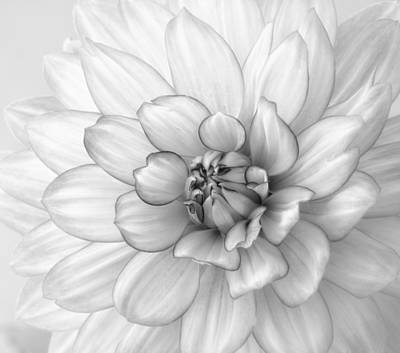 Dahlia Flower Black And White Art Print by Kim Hojnacki