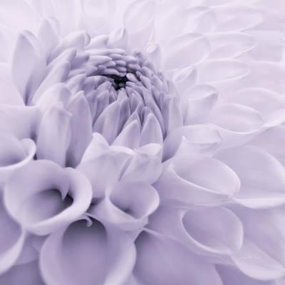 Photograph - Dahlia Flower In Lavender by Jennie Marie Schell