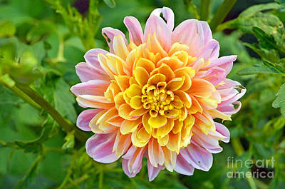 Digital Art - Dahlia Flower In Pink And Yellow by Eva Kaufman