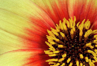 Striking Photograph - Dahlia Flower' Sunshine' Centre Abstract by Nigel Downer