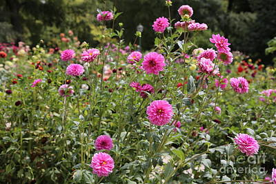 Photograph - Dahlia Garden In Madrid by Carol Groenen