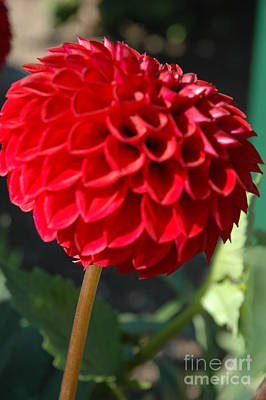 Art Print featuring the photograph Dahlia IIi by Christiane Hellner-OBrien