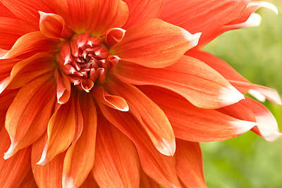 Dahlia IIi - Orange Art Print by Natalie Kinnear