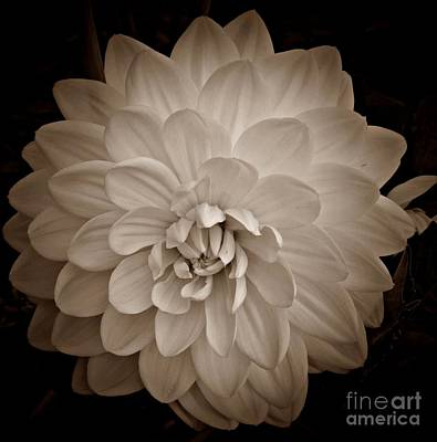Photograph - Dahlia In Sepia by Chalet Roome-Rigdon