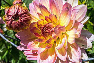 Art Print featuring the photograph Dahlia by Kate Brown