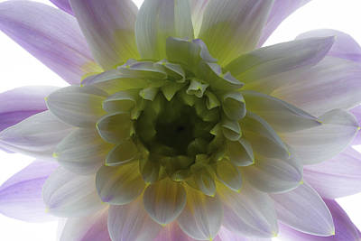 Photograph - Dahlia by Kim Aston