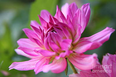 Photograph - Dahlia by Lynn England