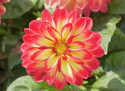 Waterlily Photograph - Dahlia 'marissa' Flower by Ann Pickford