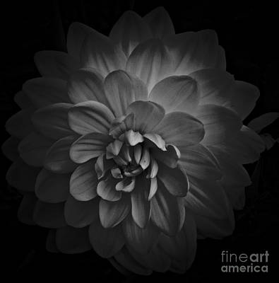 Mixed Media - Dahlia Monochrome 2 by Chalet Roome-Rigdon