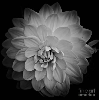 Photograph - Dahlia Monochrome by Chalet Roome-Rigdon