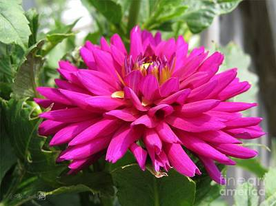 Art Print featuring the photograph Dahlia Named Andreas Dahl by J McCombie