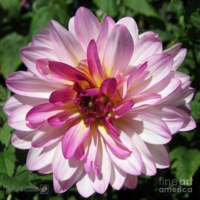 Photograph - Dahlia Named Castle Drive by J McCombie