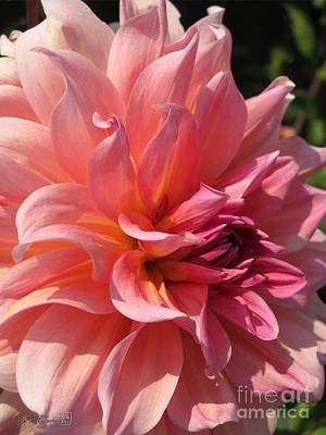 Art Print featuring the photograph Dahlia Named Fire Magic by J McCombie