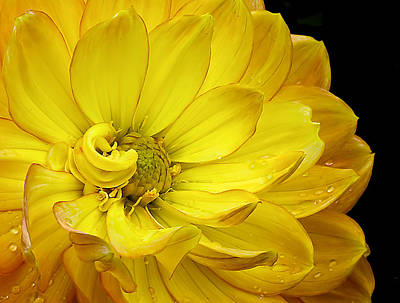 Photograph - Dahlia Pedals by Gary Neiss