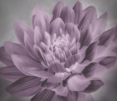 Floral Photograph - Dahlia Petals by Angela Wile