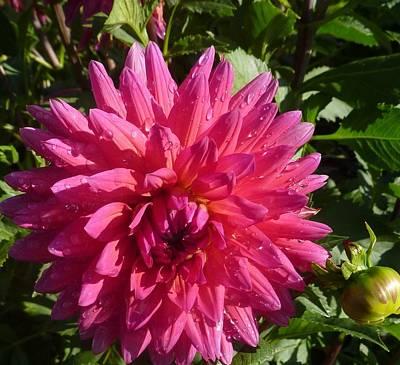 Dahlia Pink Art Print by Susan Garren