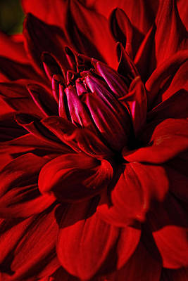 Photograph - Dahlia Red by Wes and Dotty Weber