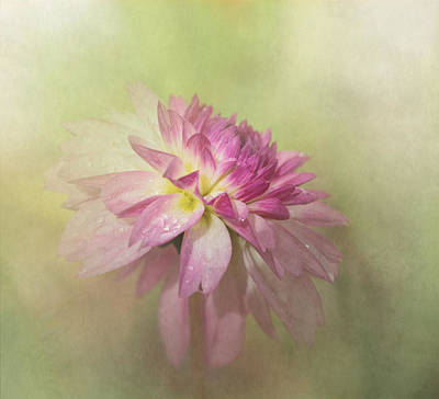Dahlia Refreshed Art Print by Angie Vogel