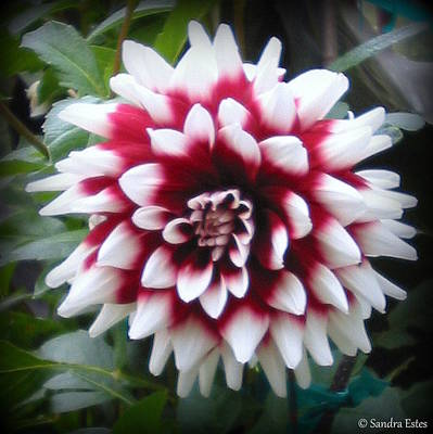 Photograph - Dahlia by Sandra Estes