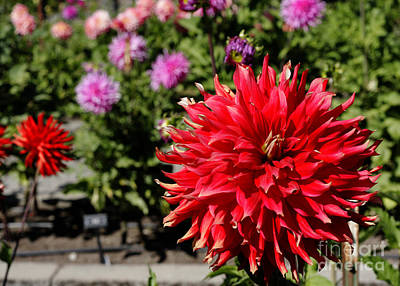 Photograph - Dahlia Scene by Chris Anderson