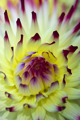 Photograph - Dahlia by Sonya Lang
