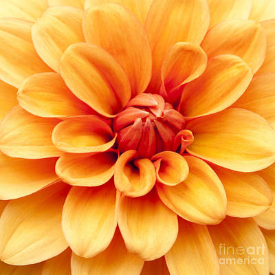 Close Focus Floral Photograph - Dahlia Squared by Anne Gilbert