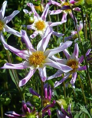 Photograph - Dahlia Star Flowers by Susan Garren