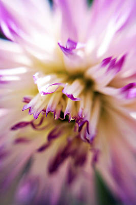 Photograph - Dahlia Starburst by Marilyn Hunt