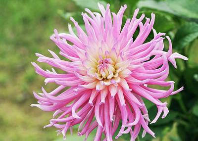 Cactus Flowers Photograph - Dahlia 'stars Favorite' by Ann Pickford