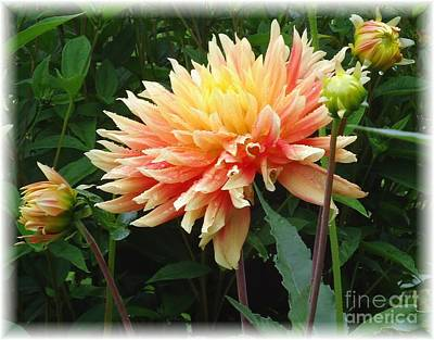 Photograph - Dahlia Sunseekers by Barbie Corbett-Newmin
