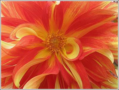 Dahlia Unfurling In Yellow And Red Art Print by Dora Sofia Caputo Photographic Art and Design