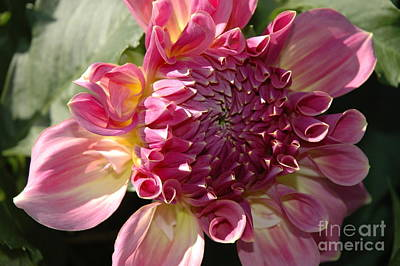 Art Print featuring the photograph Dahlia V by Christiane Hellner-OBrien