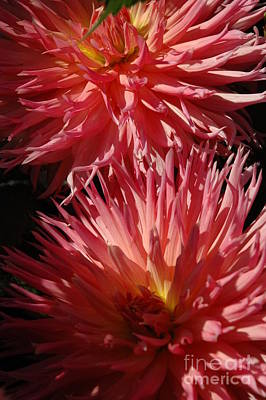 Art Print featuring the photograph Dahlia Vi by Christiane Hellner-OBrien