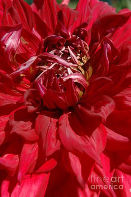 Art Print featuring the photograph Dahlia Viiii by Christiane Hellner-OBrien