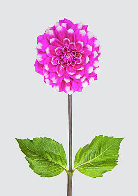 Fragility Photograph - Dahlia With Leaves Gray Background by Fuhito Kanayama