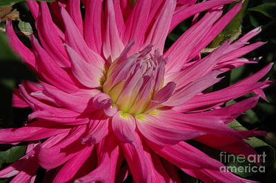 Art Print featuring the photograph Dahlia X by Christiane Hellner-OBrien