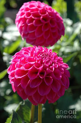 Art Print featuring the photograph Dahlia Xi by Christiane Hellner-OBrien