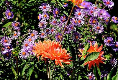 Photograph - Dahlias And Asters by Michael Saunders