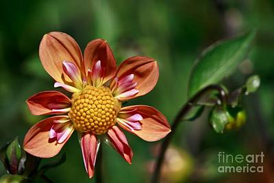 Photograph - Dahlias by Chris Anderson