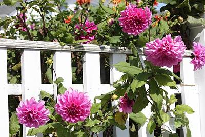 Photograph - Dahlias Over The Fence by Carol Groenen