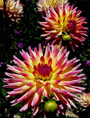 Photograph - Dahlias With Buds by Jeff Lowe
