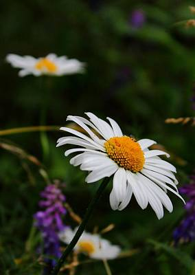 Photograph - Dainty Daisy by Theresa Selley