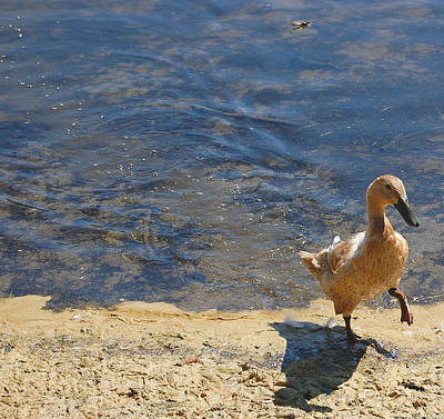 Photograph - Dainty Duck by Staci Bigelow