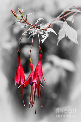 Photograph - Dainty Fuchsias By Kaye Menner  by Kaye Menner