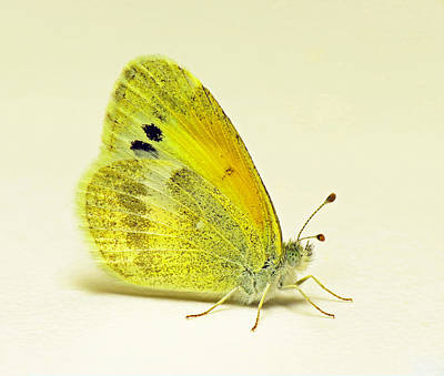 Photograph - Dainty Sulphur Butterfly by Walter Klockers