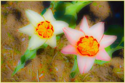 Discount Codes Wall Art - Photograph - Dainty Tulips by Sonali Gangane